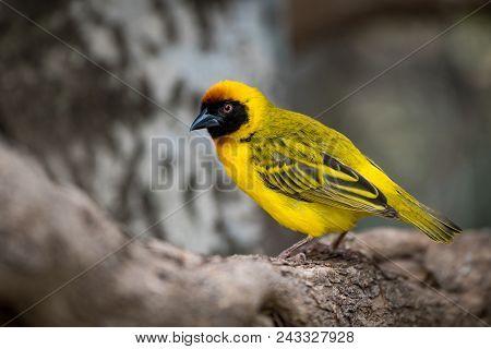 Masked Weaver Bird In Profile On Log