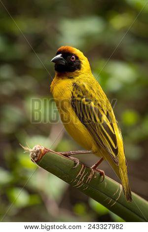 Masked Weaver Bird Standing On Green Plant
