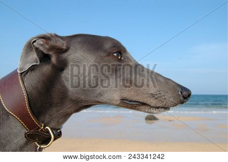 Side On Image Of Blue Greyhound Head On Beach