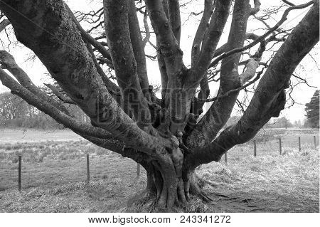 Black And White Image Of Mass Of Branches Coming Off Beech Tree In Leith Hall Estate, Scotland.