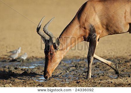 Red Hartebeest Drinking