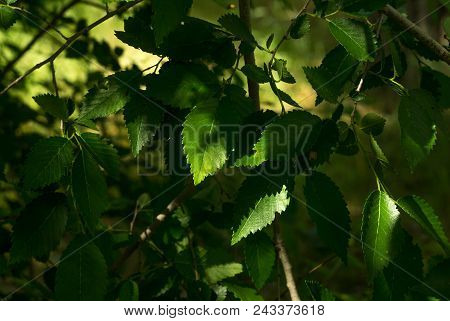 Spring Branch. Beautiful Branches With Leaves Of A Tree. Shadow On Branches.