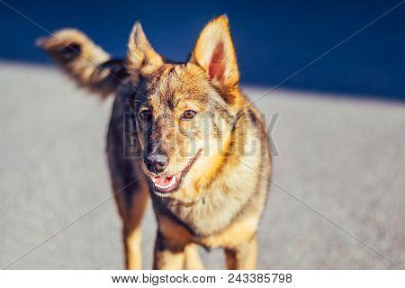 Homeless Dog Mongrel On Deserted Street On Summer Day