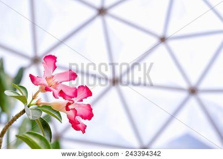Beautiful Desert Rose Flower Or Mock Azalea Flowers, Impala Lily Flower In The Geodesic Dome Greenho