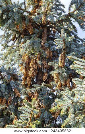 Blue Spruce Tree Close-up. Christmas Tree. Pine Tree Or Fir Tree With Cones, Close Up In Carpathian