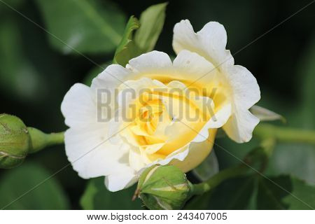 Rose Type Named Xantippe In Clouse-up Isolated From A Rosarium In Boskoop The Netherlands