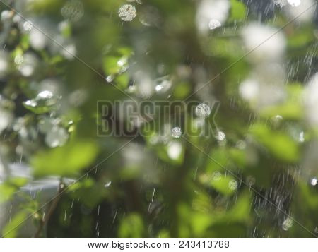 Spring Cherry Blossoms In The Rain , Pink Flowers Background