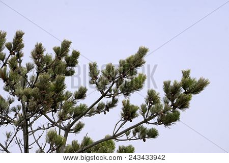 This Is An Image Of A Pine Tree With Baby Pine Cones