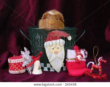 Guinea Pig In Toyland