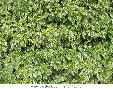 Foliage Background, Green Fence, Foliage Hedge, Green And Off White Leaves, Variegated Two-color Lea