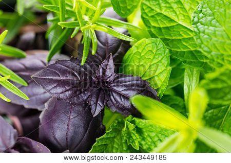 Fresh Garden Green Herbs Background. Selective Focus.