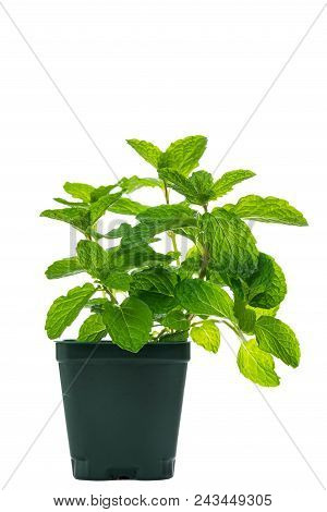 Growing Mint Isolated On White. Selective Focus.