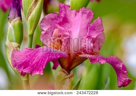 Closeup Of A Brilliant Pink Bearded Iris On A Sunny Day With Light Green Background