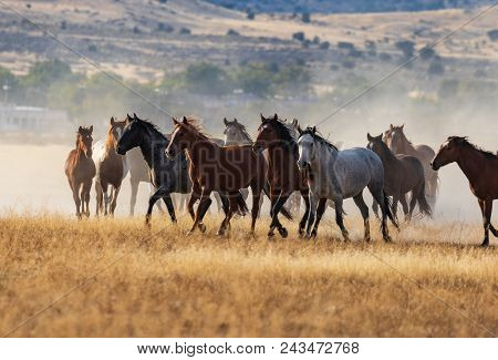 A Herd Of Wild Horses Kicking Up Dust As They Run In The Utah Desert