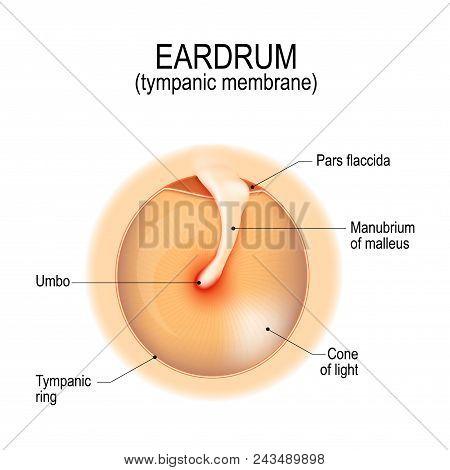 Anatomy Of The Humans Eardrum. Tympanic Membrane. Myringa. Vector Illustration For Medical, Science,
