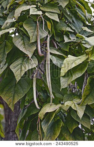 Northern Catalpa (catalpa Speciosa). Known As Hardy Catalpa, Western Catalpa, Cigar Tree, Bois Chava