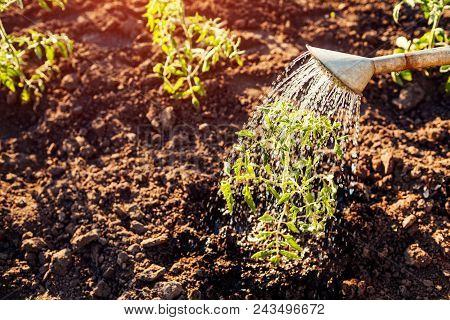 Watering Tomato Sprouts From A Watering Can At Sunset In Countryside. Agriculture And Farming Concep