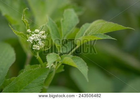 Ground-elder (aegopodium Podagraria) Coming Into Flower. Low Growing Plant In The Family Apiacaea Wi