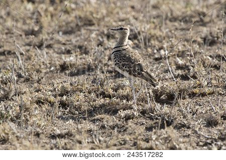 Two-banded Courser That Stand Among Dry Grass In Dry Savannah