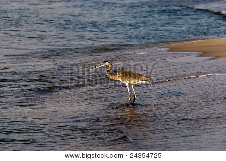Heron hunting for a meal on the Gulf Coast shores poster