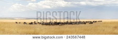 Panorama of a herd of wildebeest in the red oat grass of the Masai Mara, Kenya.