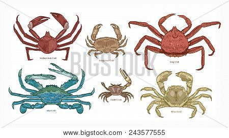 Bundle Of Colorful Drawings Of Different Types Of Crabs. Collection Of Beautiful Marine Animals Or O