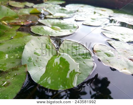 Lotus Leaf Float On Water In Tranquil Garden With Reflection Drops Of Water On Green Lotus Leaf Gree