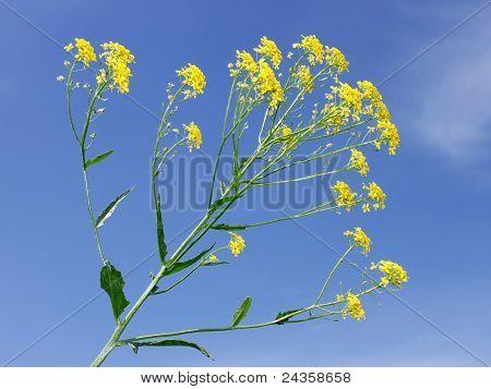Crucifer yellow flowers
