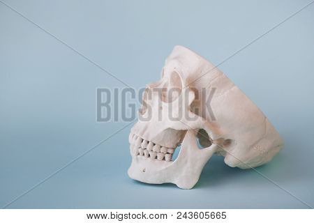 Human Skull On Clear Blue Background. Open Skull With Lower Jaw. Medical Concept, Free Space For Tex