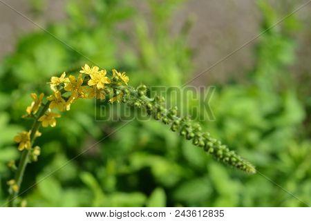 Common Agrimony Yellow Flowers Close Up - Latin Name - Agrimonia Eupatoria