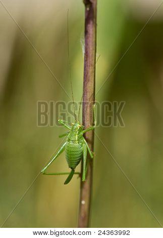 Female Speckled Bush Cricket on stem showing curved ovipositor poster
