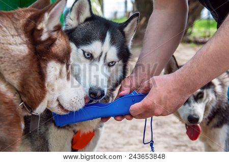 Husky Dogs Drink Water From A Plastic Portable Pet Dog Travel Water Drink Bottle. Bowl Dispenser Wat