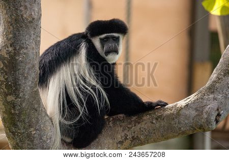 Black And White Colobus Monkey Angola Colobus Relaxes On A Tree.