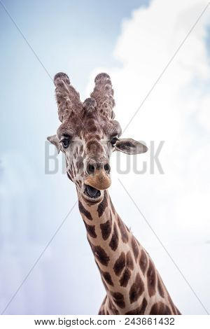 Curious and friendly Reticulated giraffe Giraffa camelopardalis reticulata looks down from its long, high neck. poster