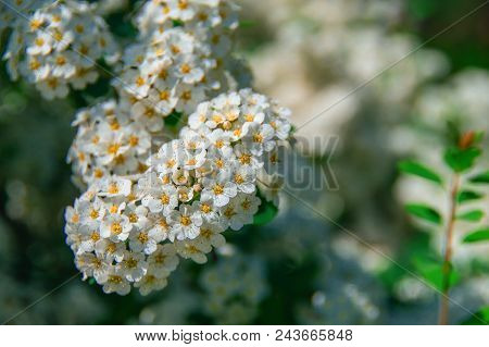 Spring Blossom Background. Beautiful Cherry Blossoms. White Blossoms Of Spring Blooming Cherry. Beau