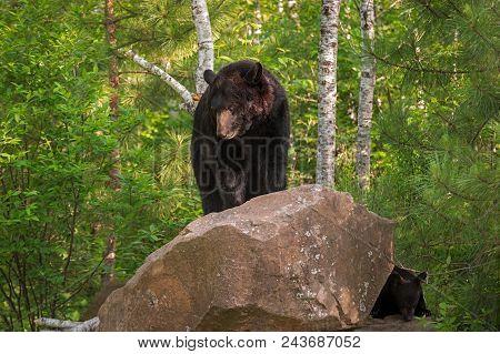 Adult Female Black Bear (ursus Americanus) On Rock With Cub - Captive Animals