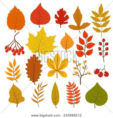 Golden And Red Autumn Leaves, Brunches And Berries. Fall Leaf Vector Cartoon Collection Isolated On