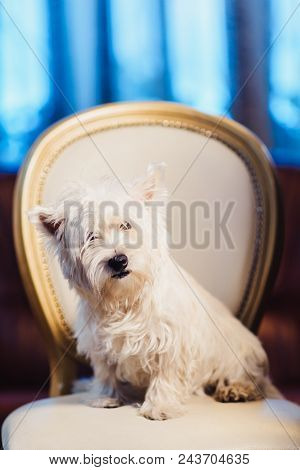 Cute West Highland White Terrier Dog Resting On A Leather Chair. Advertising Grooming And Caring For