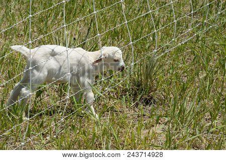 Newborn White Baby Goat Kid Chewing On Electric Fence At Edge Of Pasture