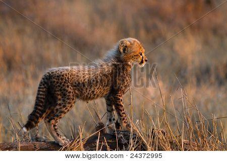 Junger Gepard Cub