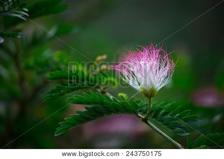 A Single Albizia Julibrissin Flower Seen On The Persian Silk Tree With Nice Soft Background