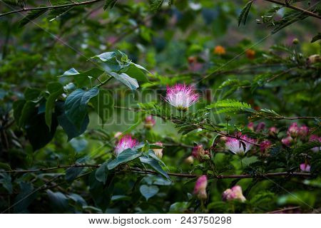 A Persian Silk Tree Seen With A Few Albizia Julibrissin Flowers