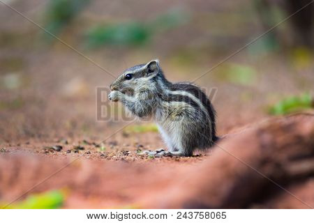 Ground Squirrel Sitting And Looks Alert On The Ground