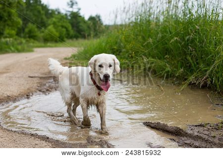 Portrait Of Funny Wet Golden Retriever Dog With Dirty Paws Standing In A Muddy Puddle