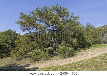 Greek Juniper (juniperus Excelsa) In The Forest In The Crimean Mountains. Spring, Early April.