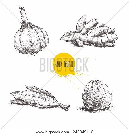 Hand Drawn Sketch Spices Set. Garlic, Ginger Root, Bay Leaves Bunch And Nutmeg. Herbs, Condiments An