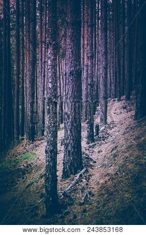 Photo Depicting Dark Misty Evergreen Pine Tree Forest. Creepy Scene, Pine Trees Silhouettes, Fall.