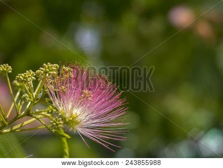 Image Of Cute Fluffy Blooming Pink Flower On. Albizia Julibrissin Persian Silk Tree, Pink Silk Tree.