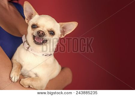 Happy Smiling Dog. Protection, Alertness, Bravery. Chihuahua Dog Smiling In Female Hands. Pet, Compa