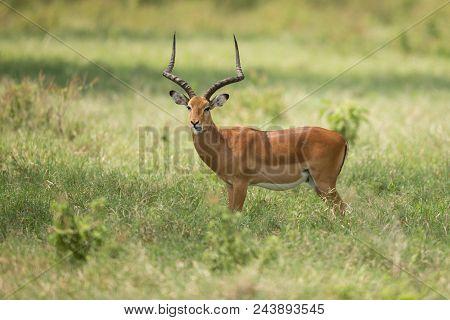 Female Kudu Antelope, Buck (khoikhoi) Herbivore Eating Fresh Green Leaves From The Tree Branch, Secr